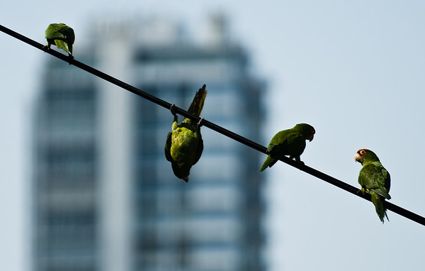 Parrots on a wire
